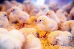 Petits poulets dans l'incubateur ou la cage de ferme Image libre de droits