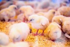 Petits poulets dans l'incubateur ou la cage de ferme Images stock
