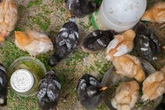 Petits poulets dans la cour au pays photographie stock libre de droits