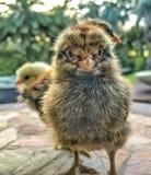 Petits poulets de bébé Images stock