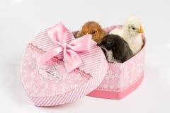 Petits poulets de bébé dans la boîte en forme de coeur au-dessus du backgro blanc Images libres de droits