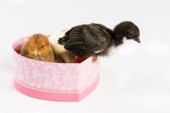Petits poulets de bébé dans la boîte en forme de coeur au-dessus du backgro blanc Photos libres de droits
