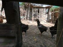 Petits poulets et petits coqs dans une ferme organique photos stock