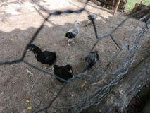 Petits poulets et petits coqs dans une ferme organique image libre de droits