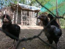 Petits poulets et petits coqs dans une ferme organique photo stock