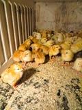 Petits poulets jaunes photographie stock