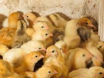 Petits poulets jaunes images stock