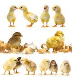 Petits poulets mignons image libre de droits