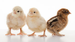 Petits poulets pelucheux Photo stock