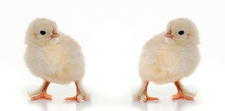 Petits poulets pelucheux Images libres de droits