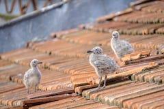 Petits poussins d'une mouette urbaine sur un toit carrelé 2 photographie stock libre de droits