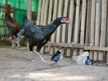 Petits poussins de bébé protégé et salut par leur mère de rester-fin dans une cage de poulet photographie stock libre de droits