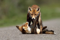 Petits renards rouges Photographie stock