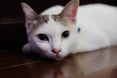 Petits sommeils blancs mignons de chaton Image libre de droits