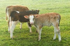 Jeunes calfes sur le pré Images stock