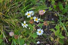 Petits wildflowers, vue supérieure de camomille photo libre de droits