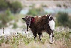 Petits yaks Photo libre de droits