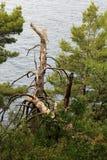 Petovac黑山杉木6月2015年,在海滨的风暴残破的 库存照片
