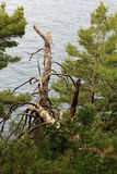 Petovac Montenegro june 2015 , storm broken pine on the seashore stock photo