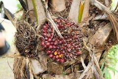 Petróleo de palma Foto de archivo libre de regalías