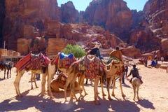 Petra,约旦-流浪的等待游人的骆驼和驴在Petra Petra考古学古城,旱谷芭蕉科,中间E 免版税库存图片