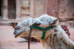 Petra верблюда, Джордан Стоковая Фотография RF