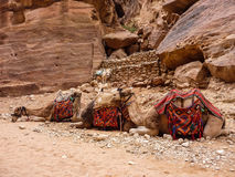 PETRA, ДЖОРДАН, 25-ОЕ НОЯБРЯ 2011: 3 верблюда лежа в ряд Стоковое Изображение