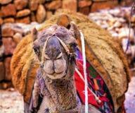 Petra Джордан Siq казначейства верблюда близкий поднимающий вверх Стоковые Изображения RF