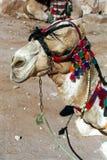 petra Иордана верблюда Стоковое Изображение RF
