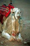 petra Иордана верблюда Стоковое Фото