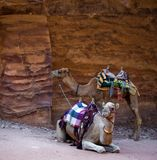 Petra. Camels on the archaeological excavations in Petra, Jordan stock images