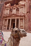Petra. Camel sitting by the treasury , Petra Royalty Free Stock Images