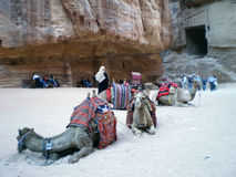 Petra camels Stock Photos