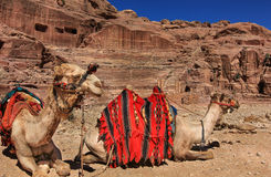 Petra. The camels in petra, jordan royalty free stock photography