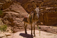 Petra Donkey. Bedouin donkey in Petra - close up Royalty Free Stock Photos