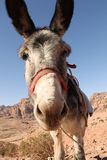 Petra-Donkey Stock Photo