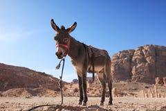 Petra Donkey Royalty Free Stock Image