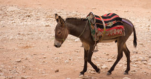 Petra Donkey. Donkey walking through sand in Petra Jordan. The donkey is used to transport tourists through the ancient Nabatean city. He wears a bridle, blanket Royalty Free Stock Photos