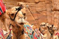 PETRA, JORDÂNIA: Retrato dos camelos imagem de stock royalty free
