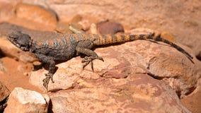 PETRA, JORDÂNIA: Um lagarto do agamá fotografia de stock royalty free