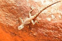 PETRA, JORDÂNIA: Um lagarto do agamá foto de stock
