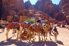 Petra, Jordan - Bedouin camels and donkeys waiting for tourists at Petra archaeological ancient city of Petra, Wadi Musa, Middle E royalty free stock image