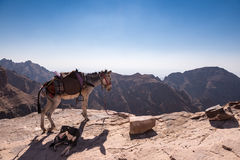 Petra, Jordan, a donkey and a dog rest on a cliff. View of the arid and wild mountain near Petra, Jordan. A donkey and a dog rest on the border of a cliff Stock Images