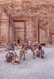 Four Camels At Petra Royalty Free Stock Photography