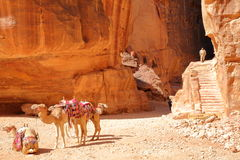 PETRA, JORDAN - MARCH 7, 2016: Camels perfectly matching the colorful sandtones Royalty Free Stock Photos