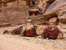 PETRA, JORDAN, NOVEMBER 25, 2011: Three camels lying in a row. PETRA, JORDAN, NOVEMBER 25, 2011: on a foreground - three camels lying in a row on sand, in the Stock Image
