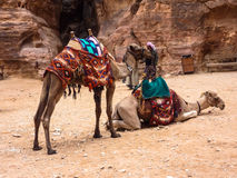 PETRA, JORDAN, NOVEMBER 25, 2011: Two having a rest camels. Concealed by bright national horse-cloths, expecting driver. In the background pink lithoidal block Royalty Free Stock Photo