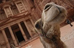 Petra in Jordan - the treasury. A  camel at the archaeological site at Petra Stock Photography