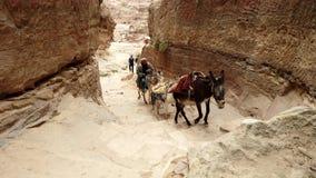 Petra, Jordanië - 2019-04-23 - muilezelbestuurder brengt muilezels op canion aan klooster stock video