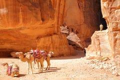 PETRA, JORDANIEN - 7. MÄRZ 2016: Kamele, welche tadellos die bunten sandtones zusammenbringen lizenzfreie stockfotos